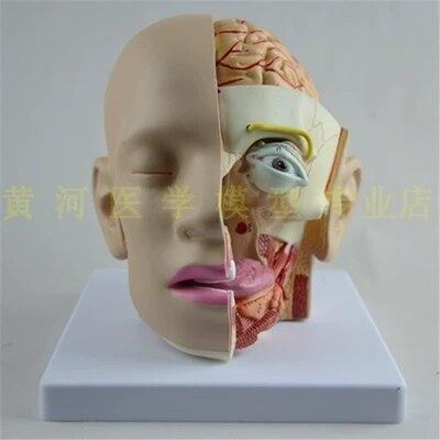 Modèle d'anatomie de la tête humaine modèle de cerveau modèle d'otolaryngologie modèle de bouche