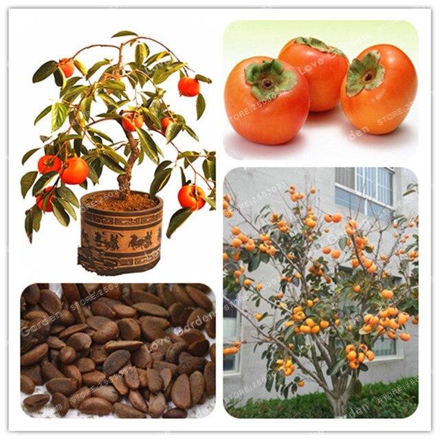20 piezas Persimmon Bonsai exótico Bonsai hermoso delicioso Diospyros Kaki árbol de fruta casa jardín planta fruta Bonsai maceta planta