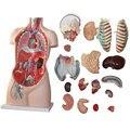85 CM 17 parte humano torso modelo anatômico modelo visceral de órgãos humanos Tronco anatomia modelo
