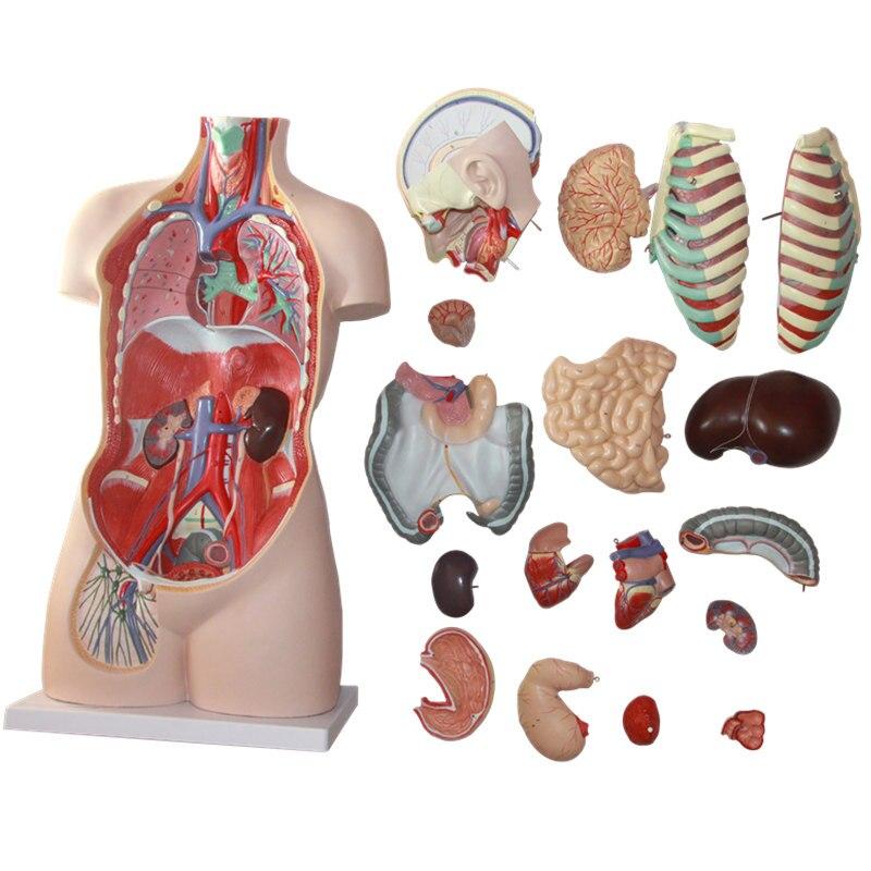 85 cm 17 Parte torso humano modelo anatómico órganos humanos modelo ...