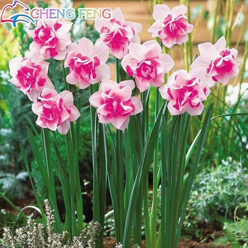100pcs Bonsai bonsai of Aquatic Plants Double Petals Pink Daffodils bonsai Narcissus bonsai for Home Garden free shipping