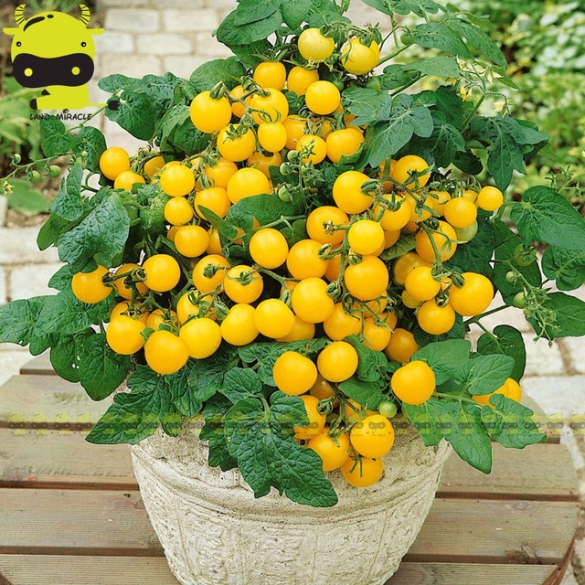 100 patio choice yellow hybrid tomato seeds mini cherry potted sweet fruit vegetable organic fresh in bonsai from home garden on aliexpress 100 patio choice yellow hybrid tomato seeds mini cherry potted sweet fruit vegetable organic fresh mightylinksfo