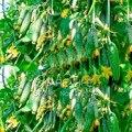 Зеленые Овощи Семена Голландский Огурец Огурчик Семена-20 семена Мини Фрукты Cucumbert
