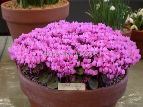Mini cyclamen bonsai seeds, living room decorated flowers, exquisite ...