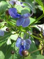 100g. Alta Calidad Clitoria Ternatea Té. Blue Butterfly Pea tea. Dried Clitoria kordofan pea flower. Tailandia