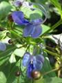 100g.High Quality Clitoria Ternatea Tea.Blue Butterfly Pea tea.Dried Clitoria kordofan pea flower.Thailand