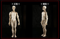 45x12CM Accurate 1 1 Natural Resin Crafts Teaching Medical Medicine Human Anatomy Human Muscle Model Medical
