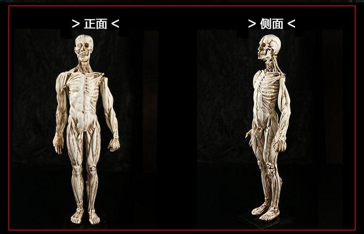 45x12 CM natürliche harz handwerk lehre medizin menschlichen ...