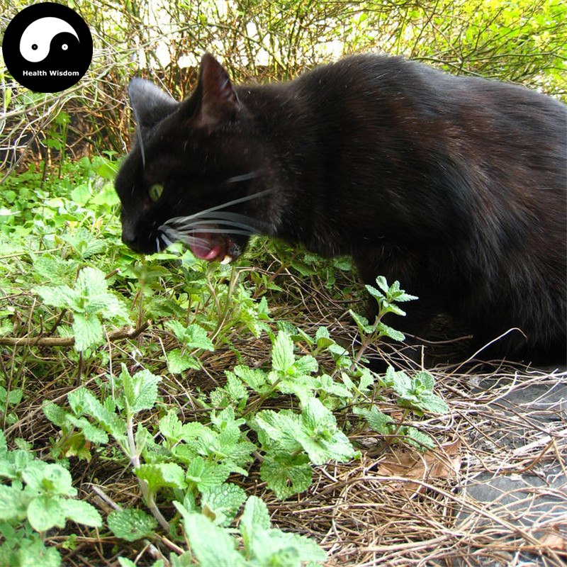 buy cat eat mint semente 200pcs plant herb nepeta cataria for cat food peppermint in bonsai from. Black Bedroom Furniture Sets. Home Design Ideas