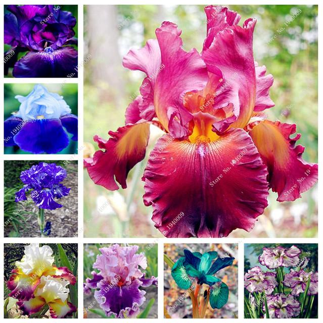 100 pcs Bonsai Iris Flower Perennia Flower garden Rare Flower flores bearded iris plantas, Nature plants Orchid bonsais planta