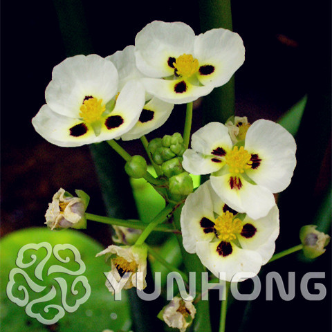 Hydroponic Flowers Small Hydrocleys Nymphoides Seeds Chinese Mini Bonsai Plant Set Hydrophyte 100Pcs Seeds Free Shipping