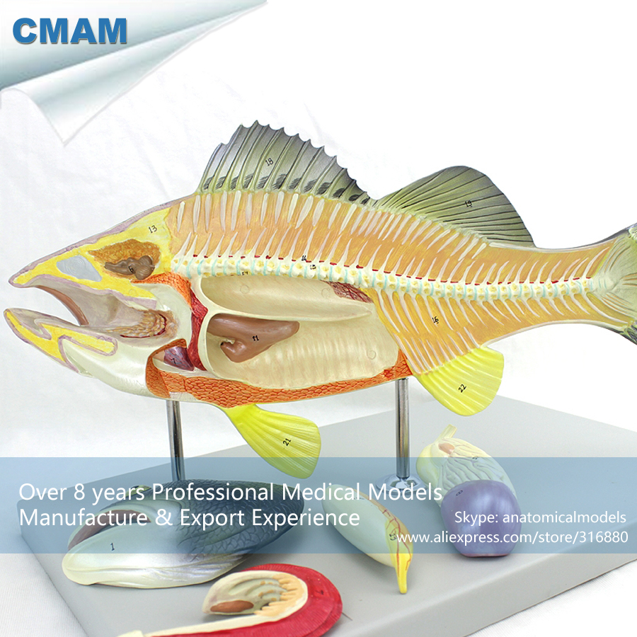 CMAM-A30 Plastic Bass Fish Anatomical Model, Scientific Teaching Model for Aquaculture Majors