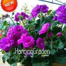 Big Promotion!20 Pcs/Bag Purple Univalve Geranium Seeds Perennial Flower Seeds Pelargonium Peltatum Seeds for Rooms,#1S4MEB