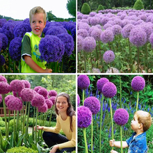 11.11mix цвета 100 шт. Гигантские Allium Giganteum семена фиолетовый Allium органических великолепный цветок для украшения сада подарок для малыша