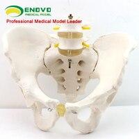 Male pelvis model two lumbar spine hip sacrum coccyx skeletal human skeleton model