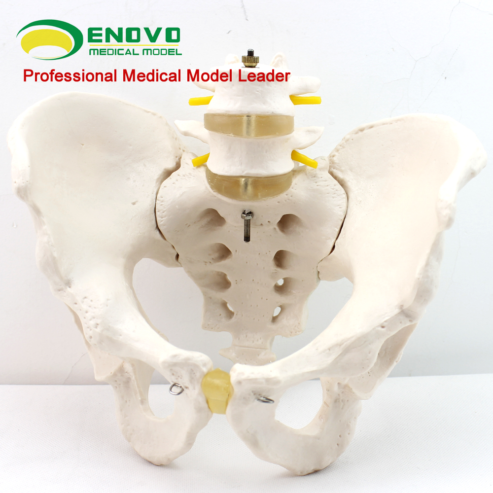 Male pelvis model two lumbar spine hip sacrum coccyx skeletal human ...