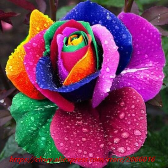 Free shipping 120 Seeds Rare Holland Rainbow Rose seed Flowers Lover colorful Home Garden plants rare rainbow rose flower seeds