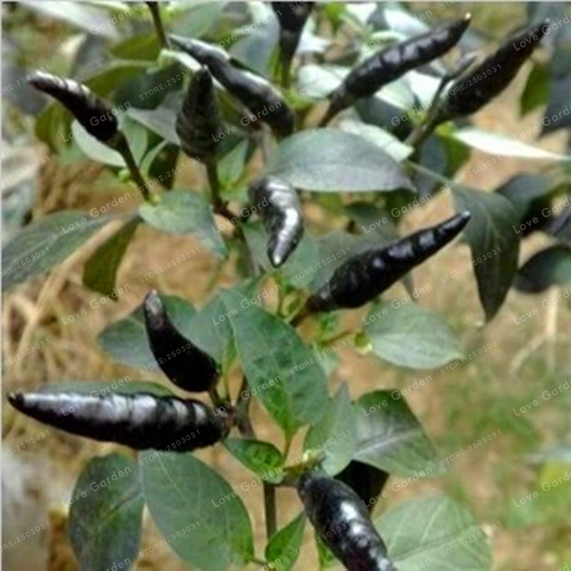 100 Pcs Black Cobra Peppers Chili Seeds Rare NO-GMO Vegetable Seeds For Home Garden Planting Bonsai Easy To Grow ...