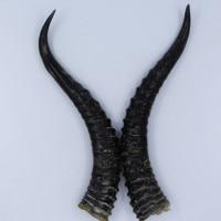 TNUKK I tre generazioni di erbe selvatiche naturale grezzo capra corno corno di Montenegro una coppia.