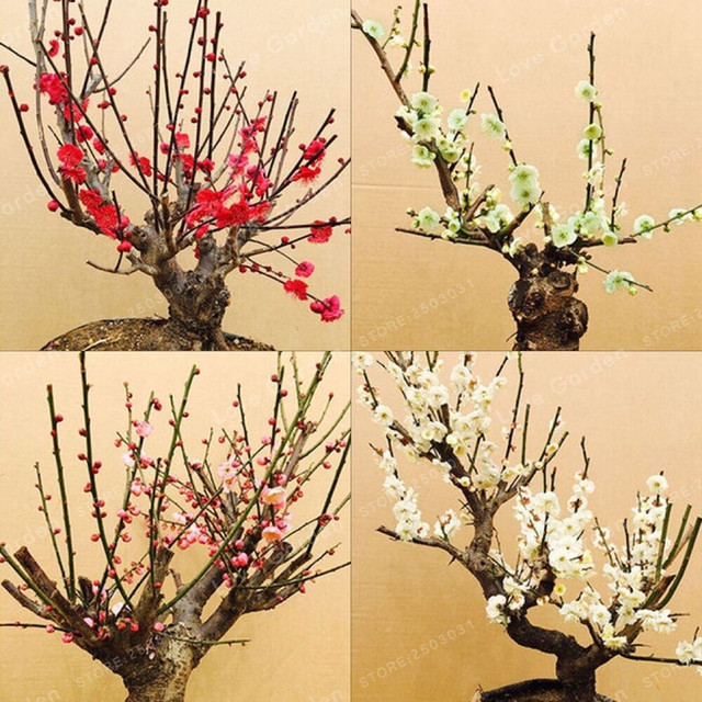 5pcs Pack Heirloom Yellow Red Pink Wintersweet Calyx Canthus