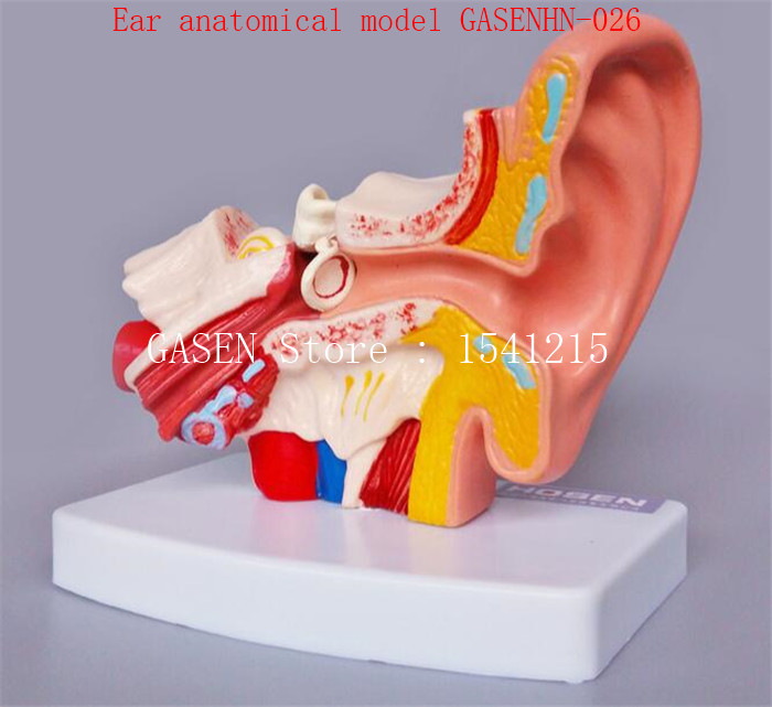 Human ear anatomical model Inner ear structure auditory system Principles of listening Teaching Ear anatomical model GASENHN-026 iso sound auditory mediation model acoustoelectric control human hearing model