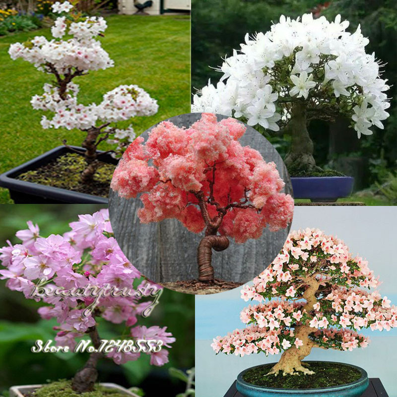 Image result for sakura bonsai