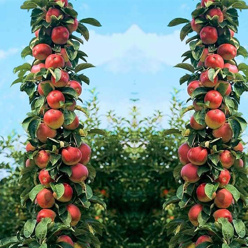 20pcs bonsais Four Seasons potted Apple tree bonsais ...