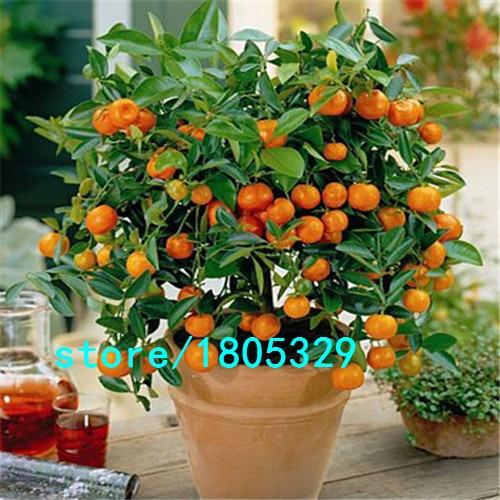 30pcs Edible Fruit Mandarin Bonsai Tree Seeds, Citrus Bonsai Mandarin Orange Seeds