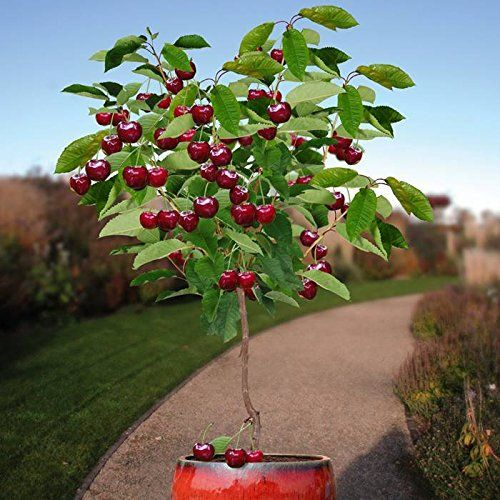 20pcs Cherry Seeds cherry tree Organic fruit seeds Bonsai Tree Seeds, sweet food High germination rare Home Garden Potted Plant