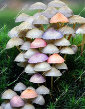 100pcs/bag mini mushroom seeds, Funny fungus Succlent Plant Edible Health seeds Vegetables 18 kinds to choose home garden plant