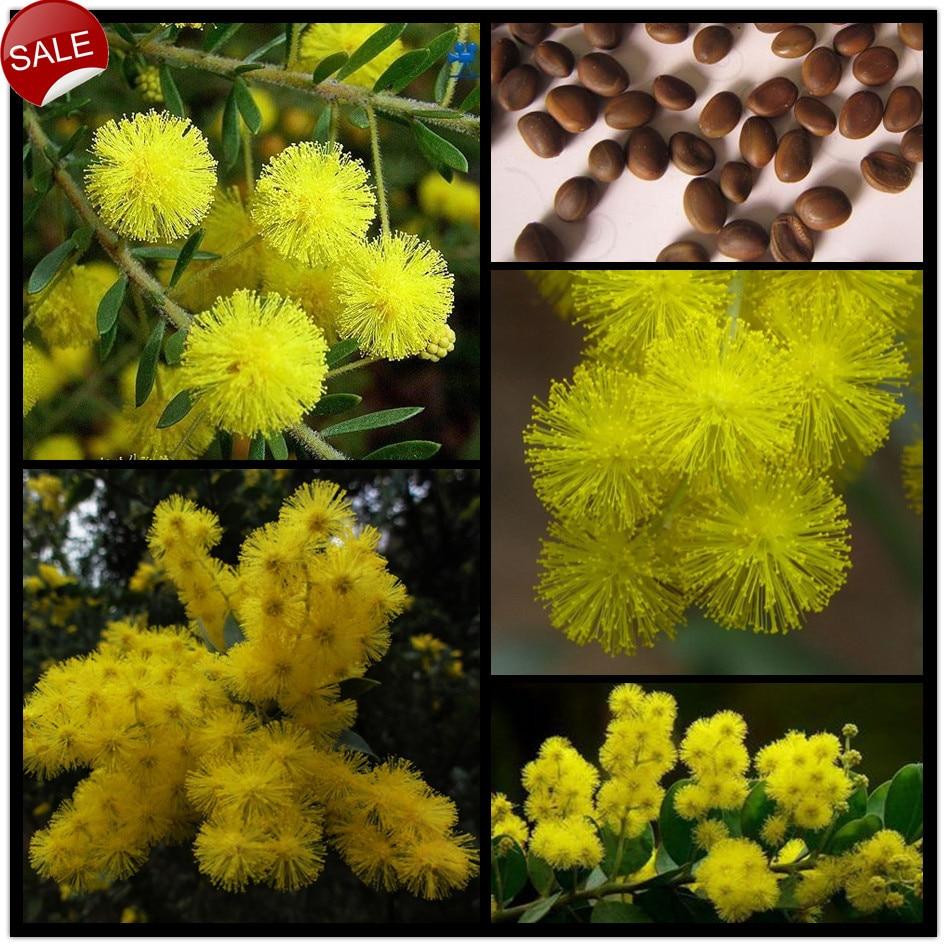 20seedsbag Yellow Perfume Albizzia Flower Seeds Golden Mimosa