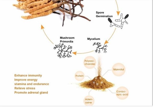 250g polvo de Cordyceps sinensis micelio Cordyceps suplemento de la salud