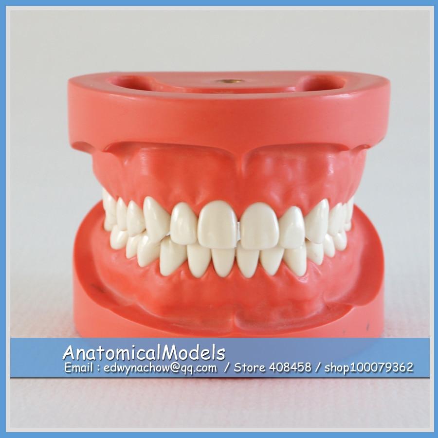 ED-DH102 Wholesale Screw Fix Hard Gum Standard Dental Model, Medical Science Educational Teaching Anatomical Models  дюбель 6х30 500 шт нейлон hard fix