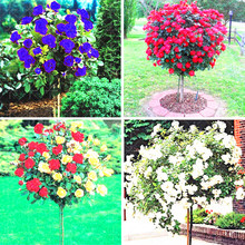 200pcs/bag rose tree,rose seeds,bonsai tree flower seeds,rose tree plant Balcony & Yard potted for home garden