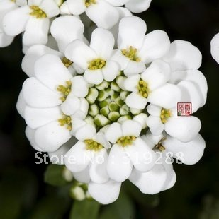 10pcs/bag white Evergreen candytuft flower Seeds mixed colour DIY Home Garden