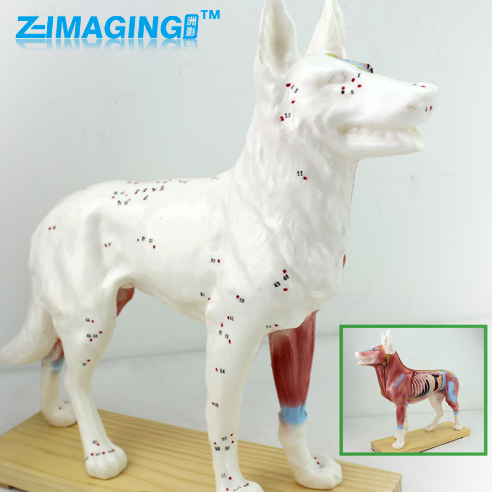 Dog acupuncture model animal anatomy model pet model canine acupuncture point model