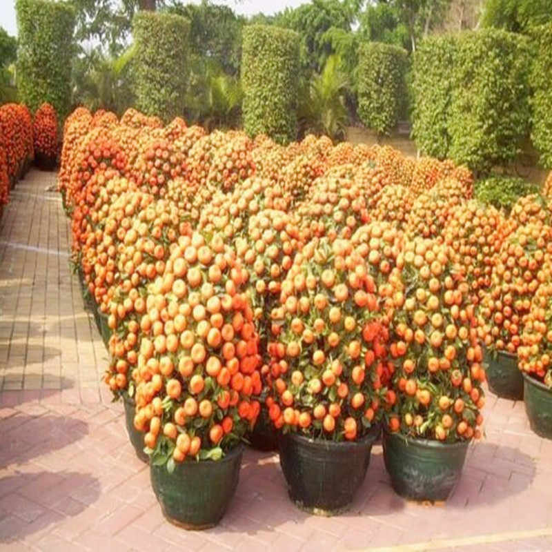 Balkon Teras Buah Dalam Pot Bonsai Jeruk Bonsai China Memanjat Tanaman Pohon Jeruk Bonsai 10 Pcs Gratis Pengiriman