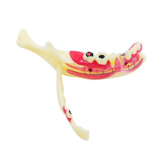 Dental MandibularTeeth Demonstration Anatomical Patient Study Teach ModelDental MandibularTeeth Demonstration Anatomical Patient Study Teach Model