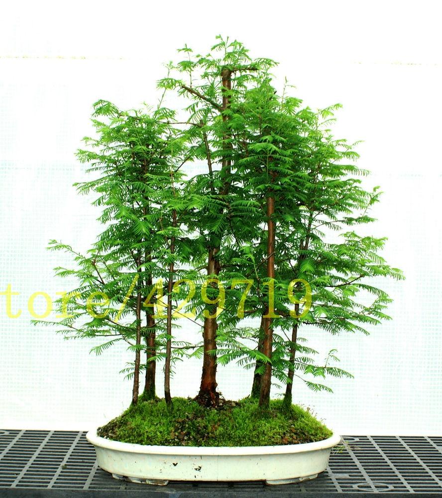 Bonsai 100 Pcs Dawn Redwood Bonsai Tree Grove Metasequoia Glyptostroboidesdiy Home Gardening Best