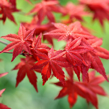 10 Particles Beautiful Red Maple Seeds, DIY home & garden tree seed