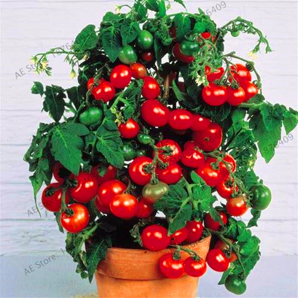 Lowest Price!Milk red tomato bonsai, cherry tomato flores organic fruit and vegetable plantas ourdoor plant for home garden 100