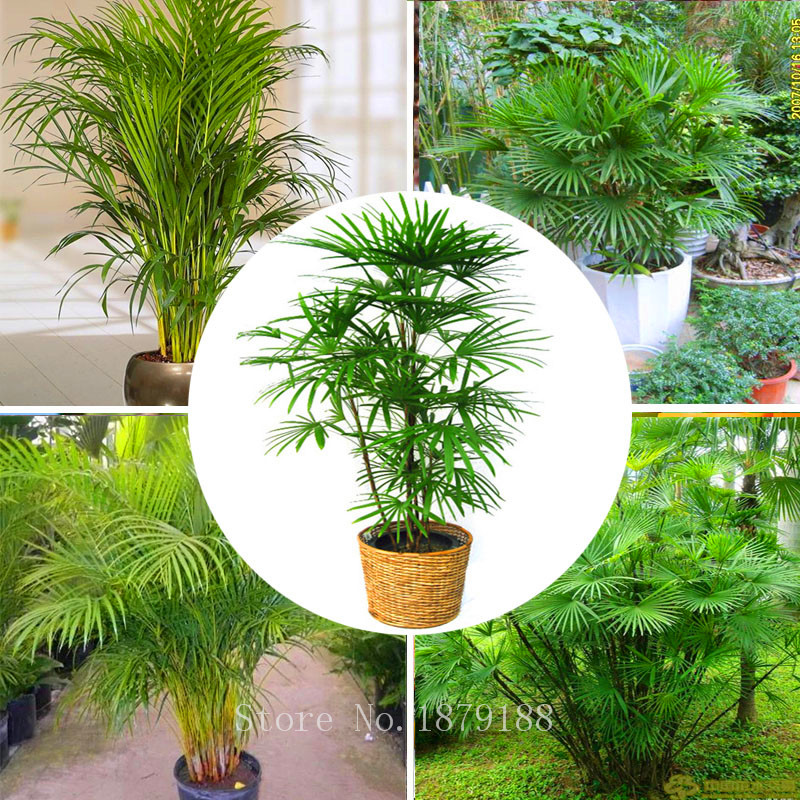 30pcs/bag Palm bamboo Seeds, indoor plants new arrival DIY Home Garden Tree seeds P001