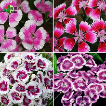 100PCS mix color Multicolored Dianthus seeds, flower gorgeous DIY garden flower, bonsai yard balcony so easy to grow