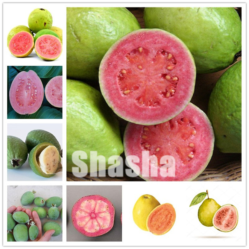 Top 10 Bonsai Guava Tree List And Get Free Shipping Ajdc0d1n