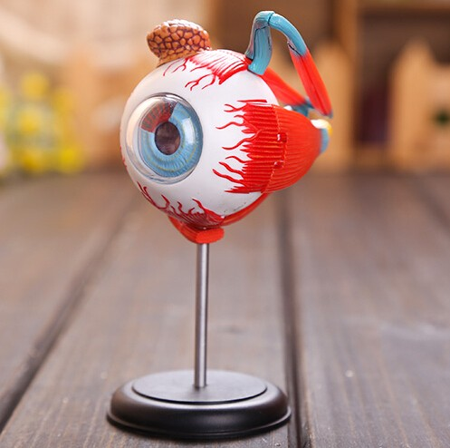 Master 4D Eye Model 32 Pcs Assembled Human Anatomy Model New 3D Structure Of The Eye Puzzle Free Shipping