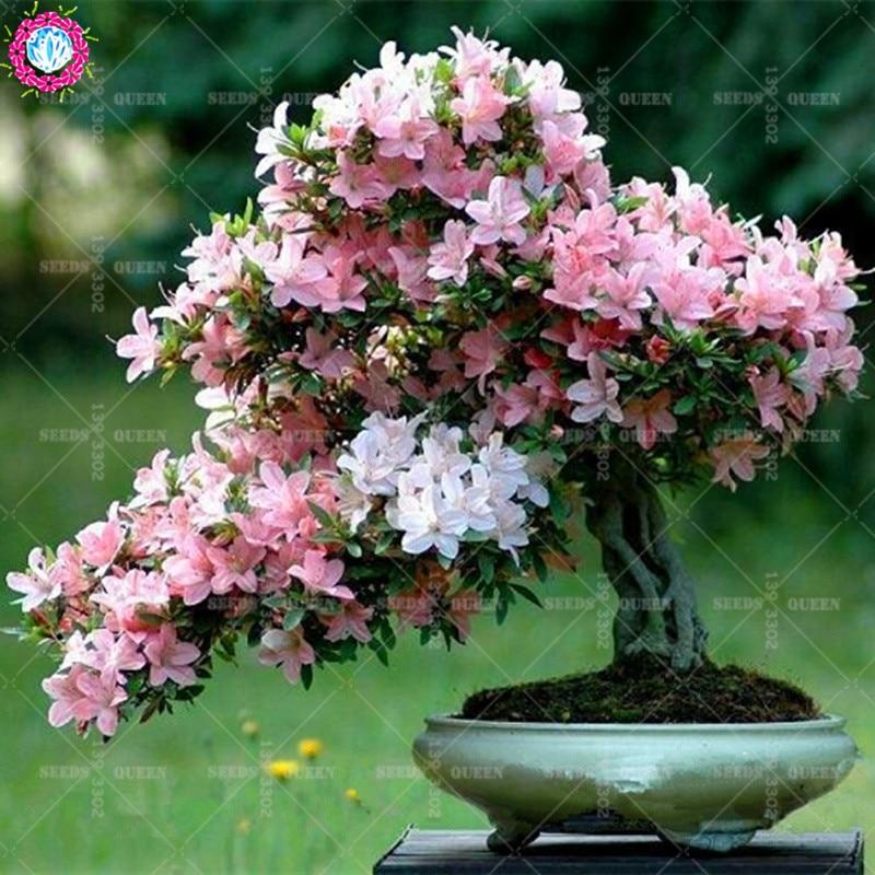 16 Styles 10PCS Hot Bonsai Flower Cherry Blossoms Japanese Sakura Seeds Garden