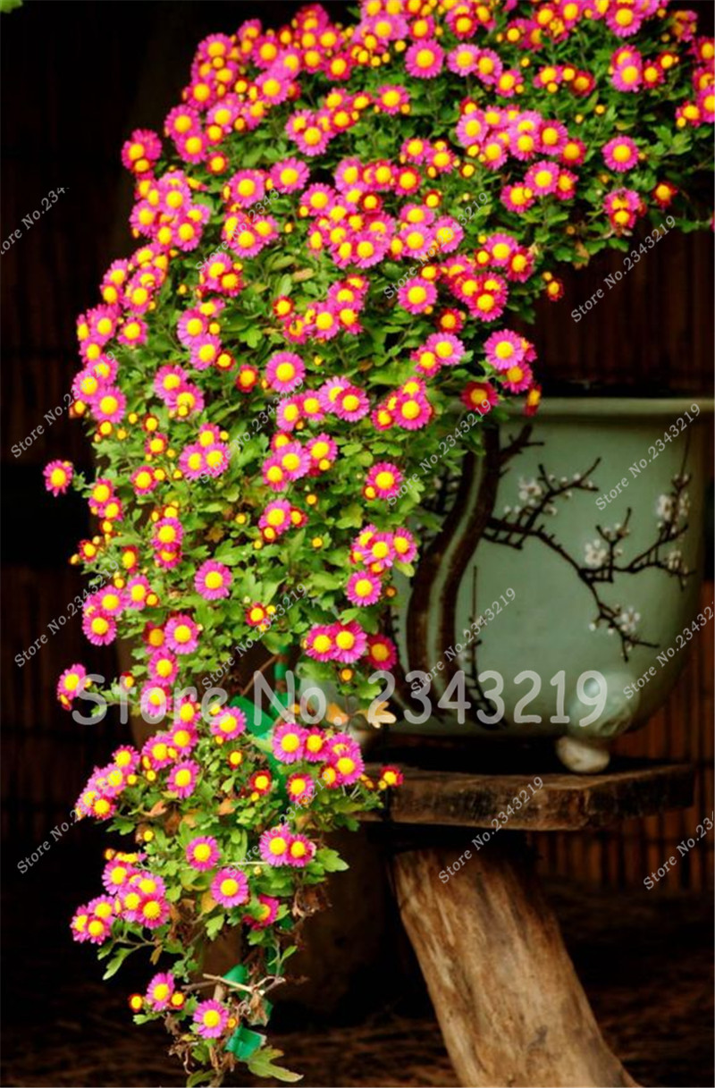 Popular english trees buy cheap english trees lots from china mini bonsai tree seeds daisy flower seeds english daisy bellis seeds perennial cut dhlflorist Image collections