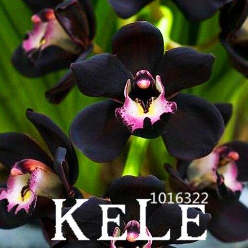 Sale 100 pcs lot unique black cymbidium faberi flower for Which of these is unique to flowering plants