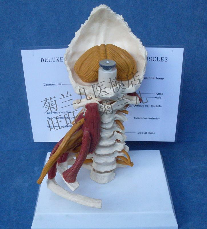 Halswirbel zervikalen und wirbelkörper halswirbelsäule menschlichen ...
