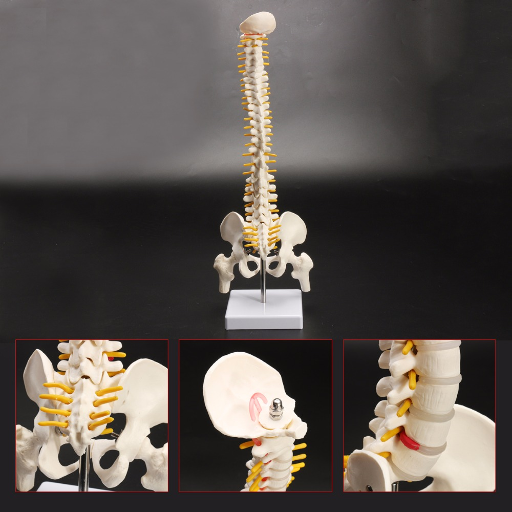 45cm Flexible 1:1 Adult Lumbar Bend Spine Model Humans Skeleton Model with Spinal Disc Pelvis Model Used for Massage ,yoga Etc.